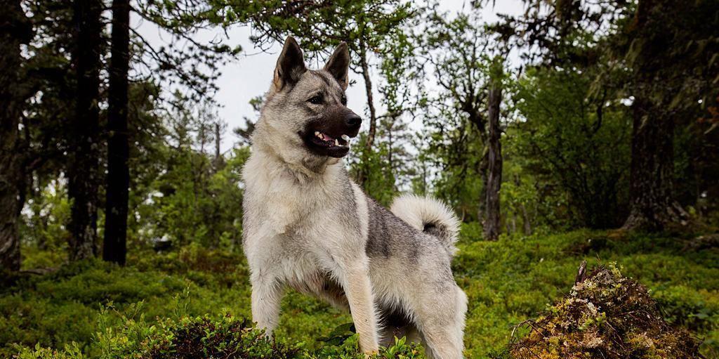 норвежский серый элкхунд