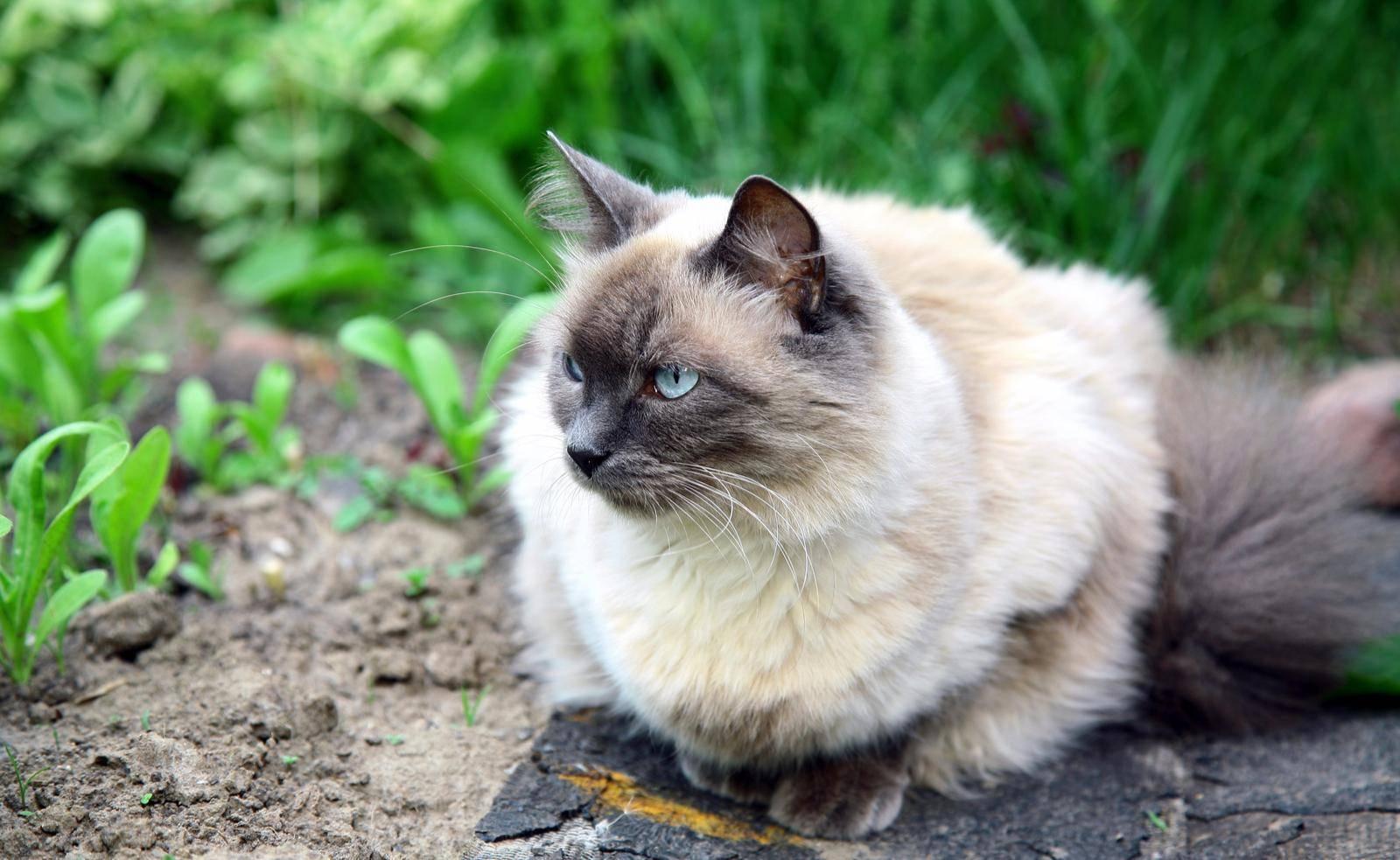 полудлинношерстные кошки