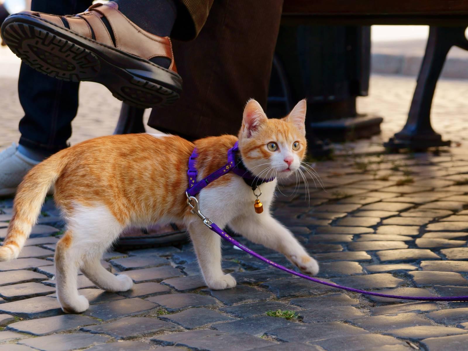 поводок для кошки