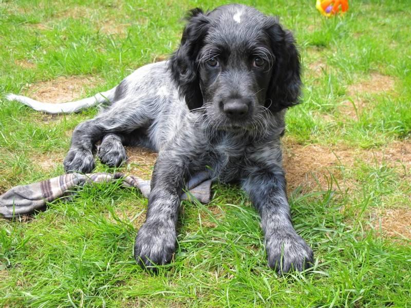 характеристики собаки породы голубой пикардийский спаниель