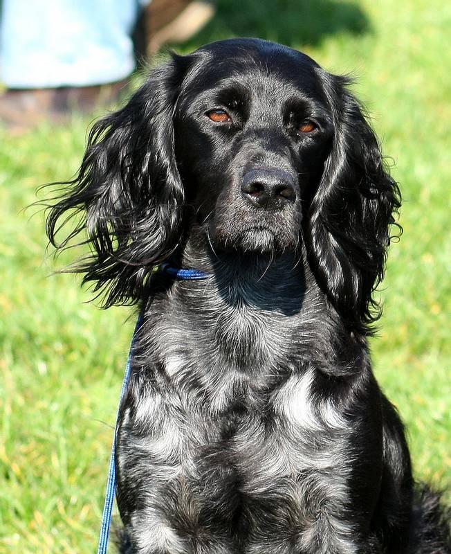 порода собаки голубой пикардийский спаниель