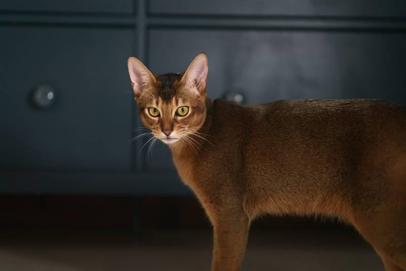 абиссинский котик