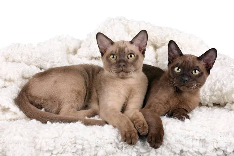 американская бурманская кошка фото