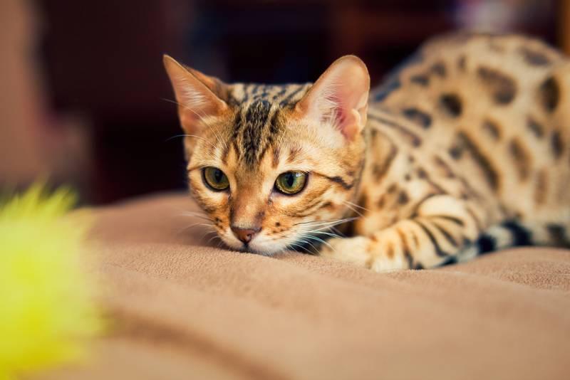 бенгальская кошка внешний вид