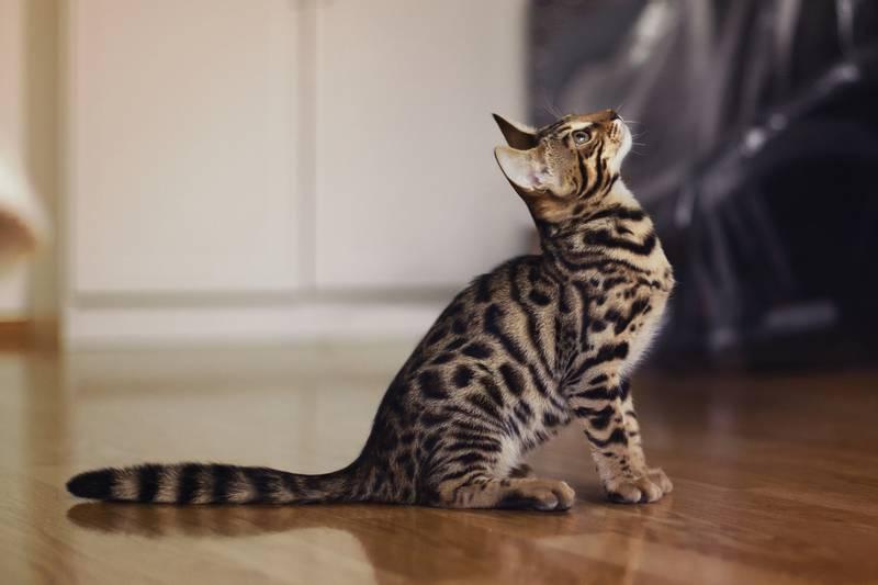 Уход и содержание бенгальской кошки: обустройство быта | 532x800