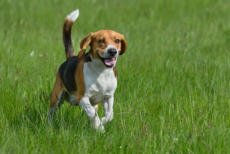 бигль характер собаки