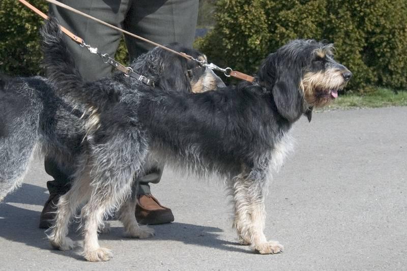 порода собаки голубой гасконский гриффон
