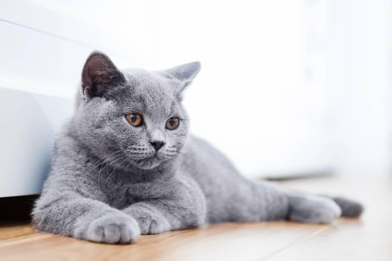 британские кошки описание характера