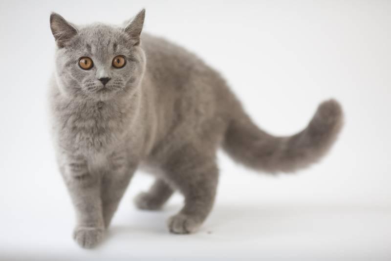 всё о британских котов