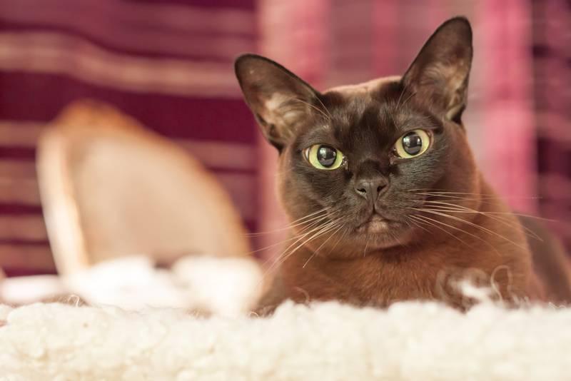 бурманская кошка история породы
