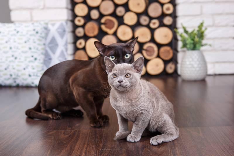 бурманская кошка характеристика породы