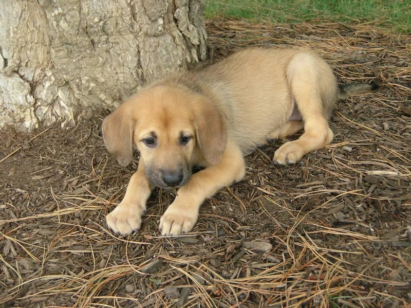 щенки собаки породы чинук