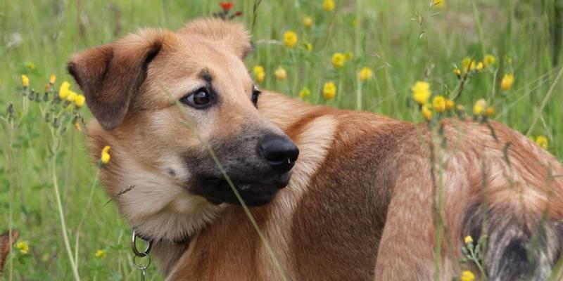 уход и содержание собаки породы чинук