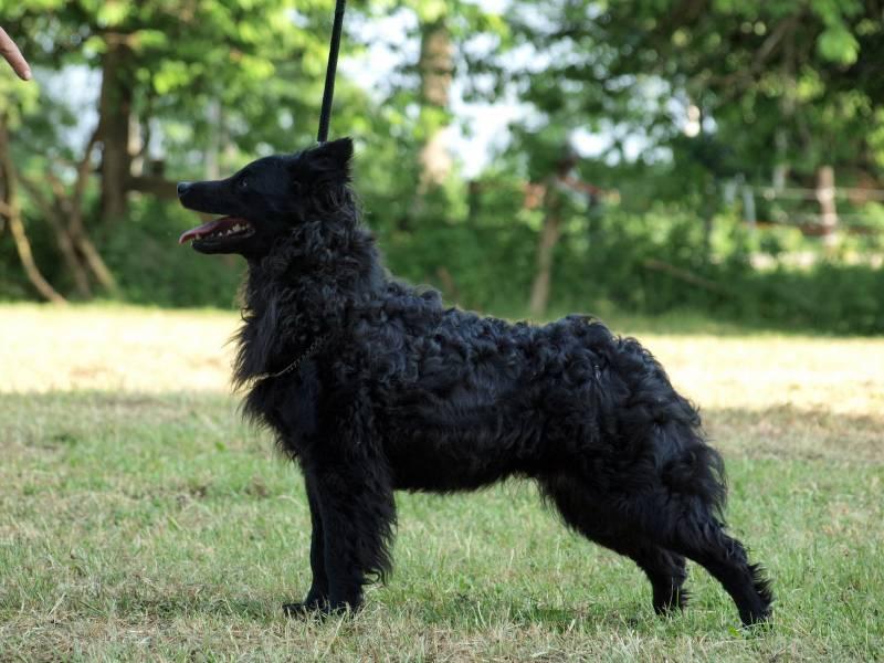 уход и содержание собаки породы хорватская овчарка