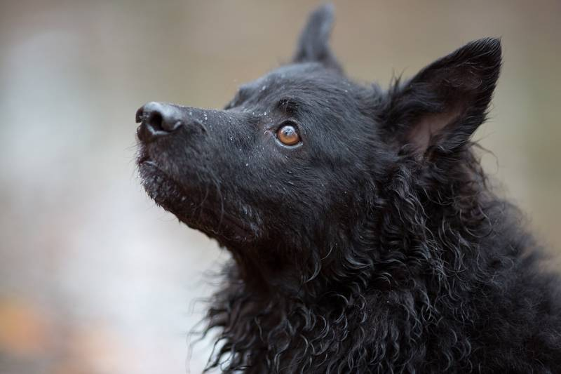 характеристики собаки породы хорватская овчарка