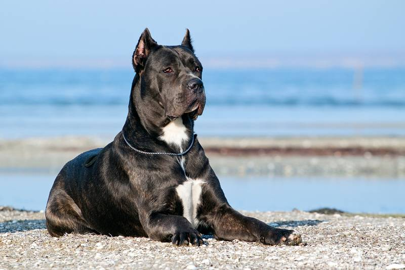 Cane Corso. Dog for solid spirit
