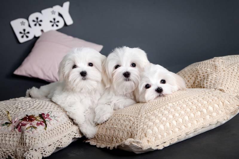 лучшая собака для квартиры, это болонка