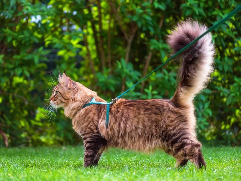 строение тела кошек мейн кун