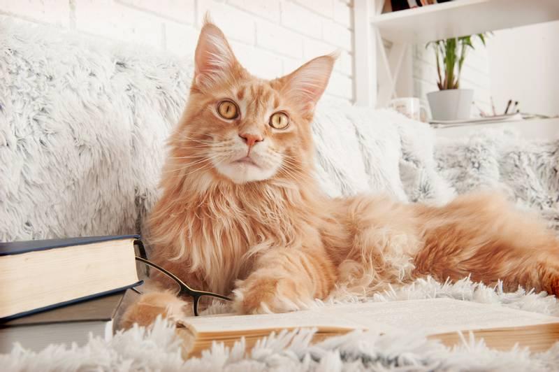 особенности шерсти кошек породы мейн кун