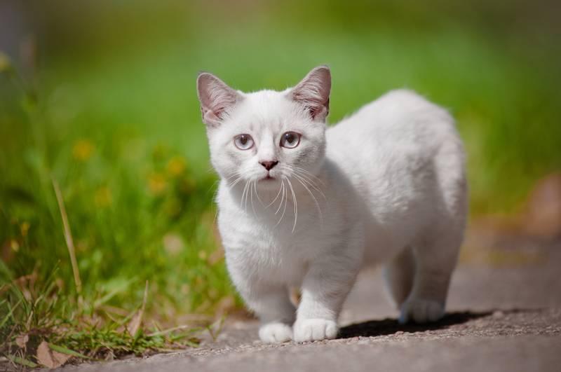 манкчин кошка