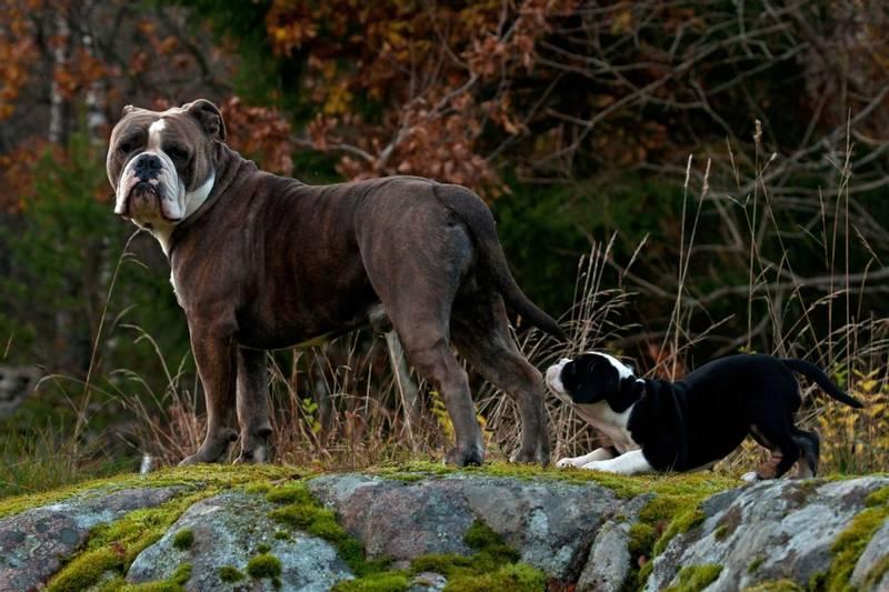 уход и содержание собаки породы староанглийский бульдог