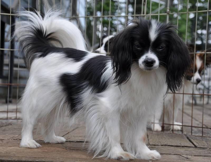 порода собаки фален