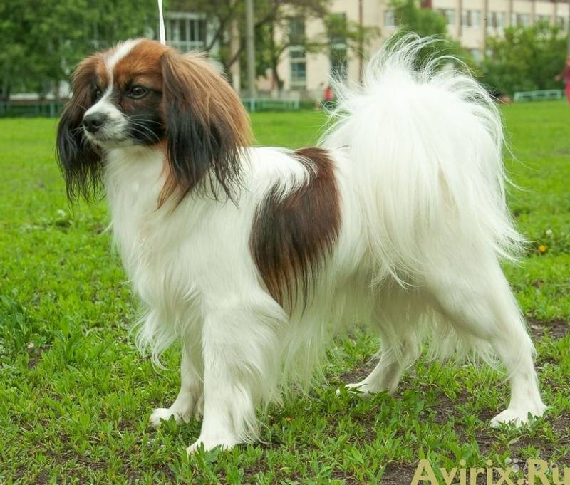уход и содержание собаки породы фален