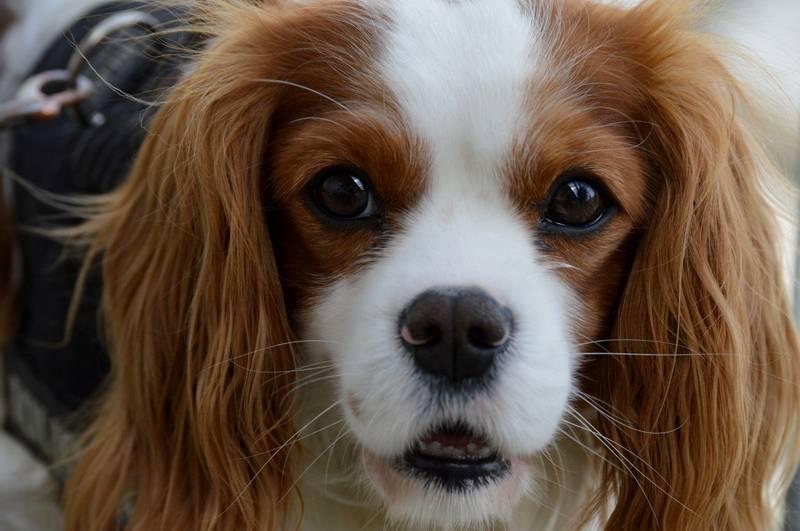 характеристики собаки породы фален