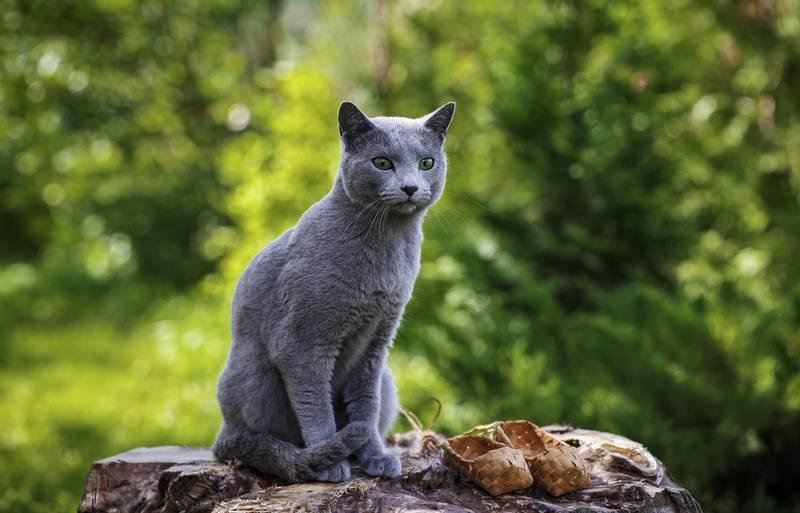 внешний вид русской голубой кошки