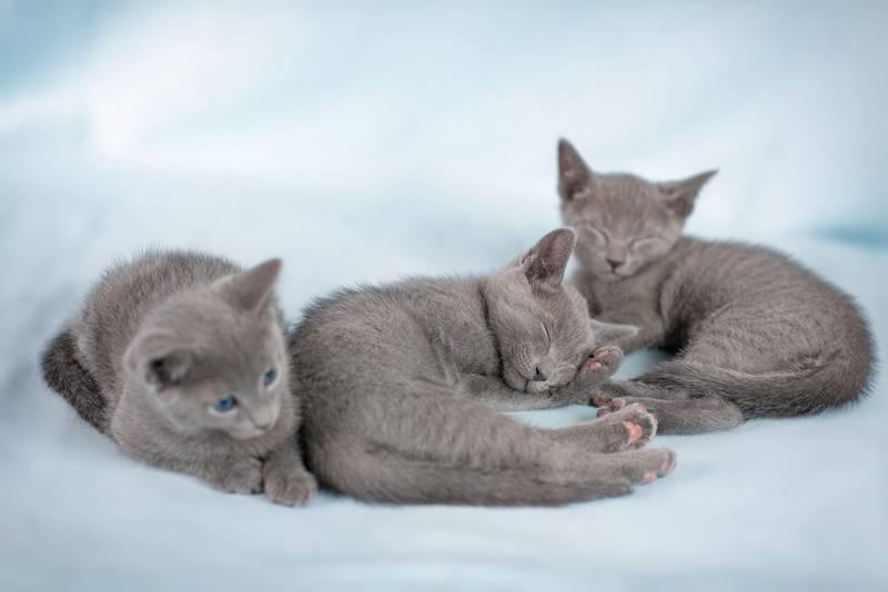 котята шотландской вислоухой кошки