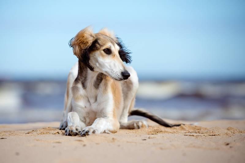 Порода собаки салюки: характеристики, фото, характер, правила ухода и  содержания - Petstory
