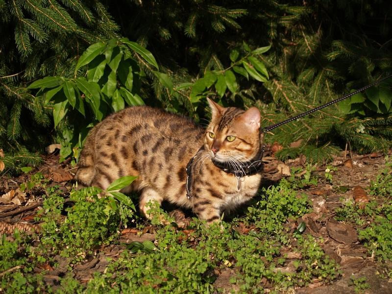 порода кошки саванна