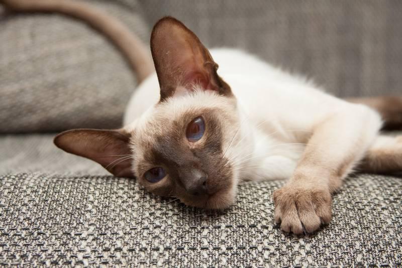 сиамская кошка характеристики породы