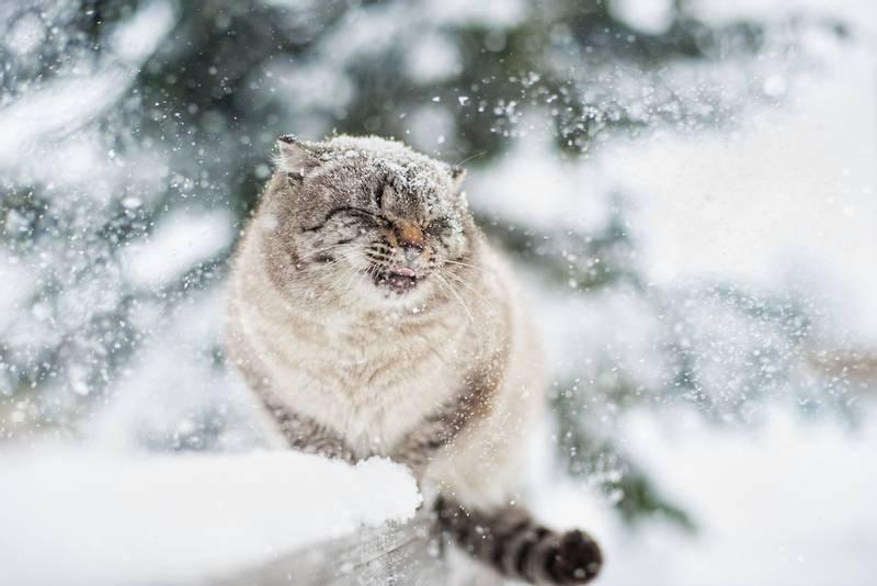 сибирская кошка все о породе