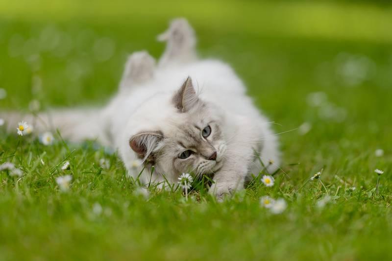 сибирская кошка история породы