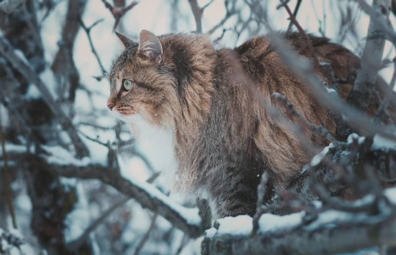 сибирская кошка внешний вид