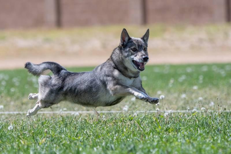 характеристики собаки породы шведский вальхунд