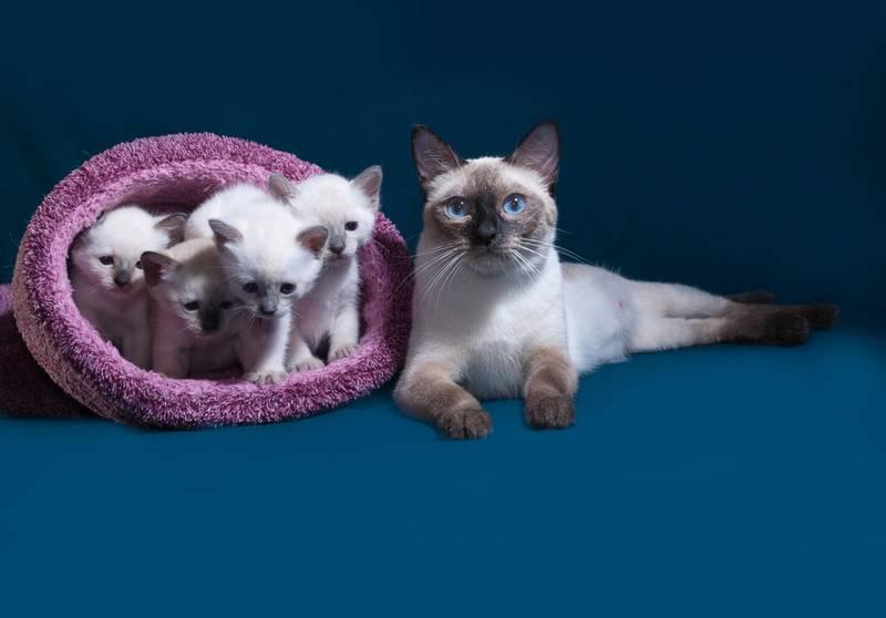тайская кошка история породы