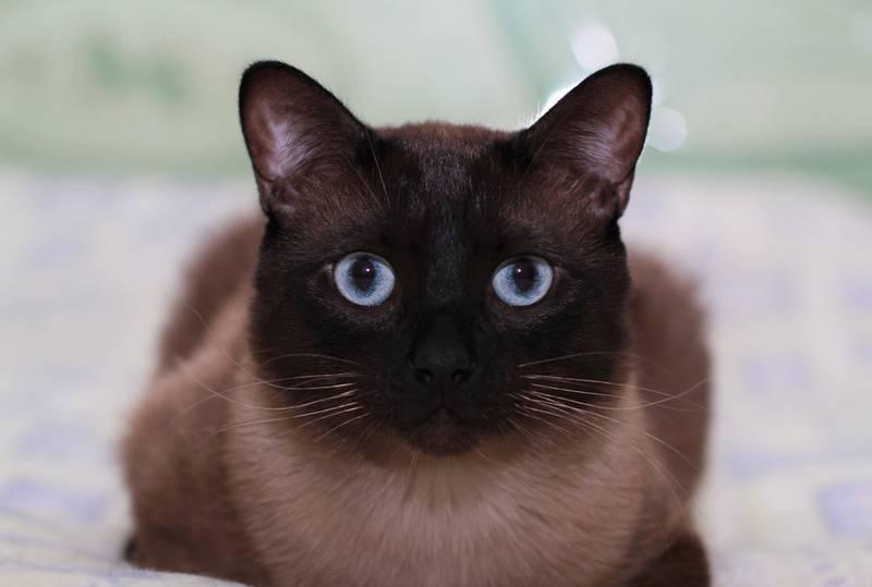 тайская кошка описание породы
