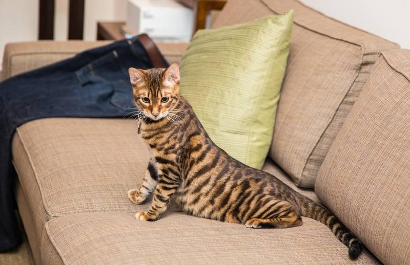 порода кошки тойгер