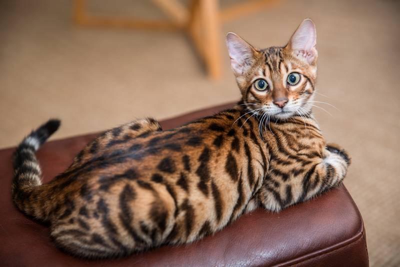 характеристики кошки породы тойгер