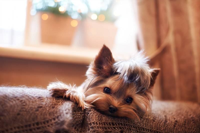 йоркширский терьер история породы собаки
