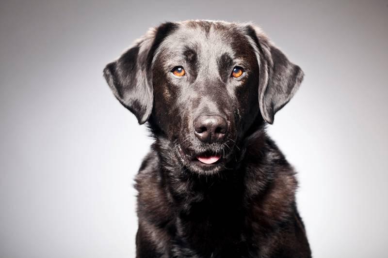 крипторхизм у собак лечение