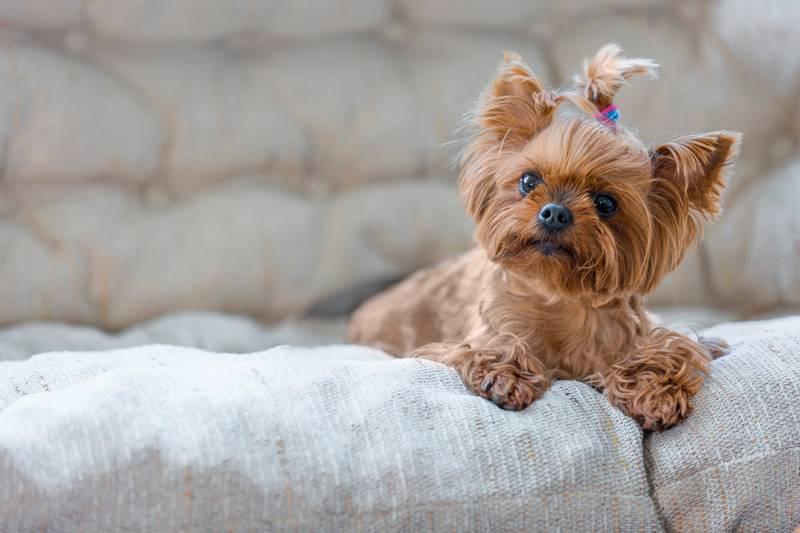 как дрессировать маленьких собак