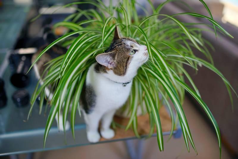 Какие домашние цветы можно есть кошкам