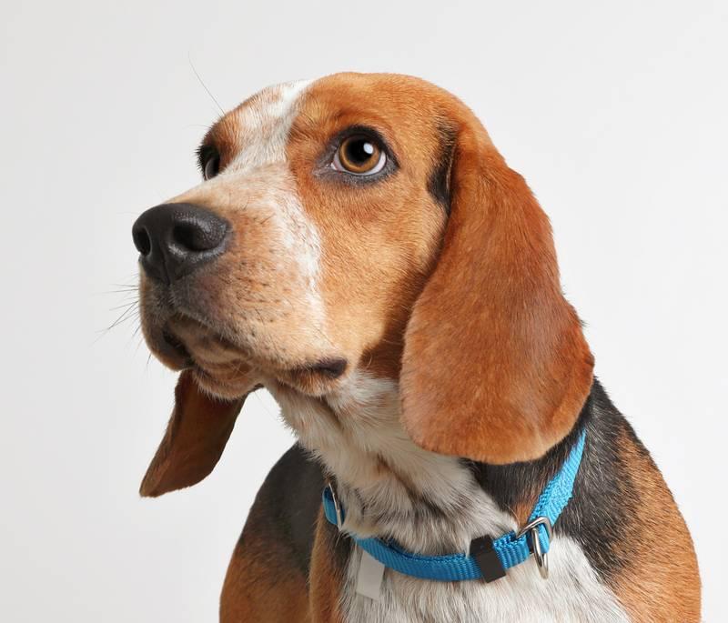 причины крипторхизма у собак